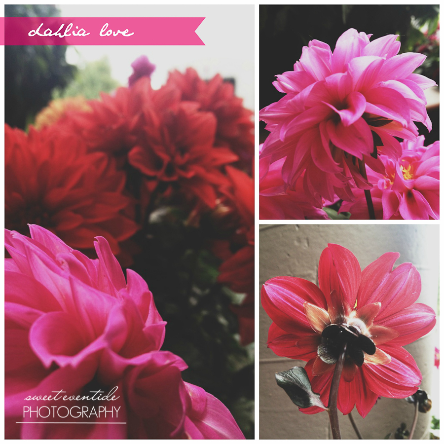 fuchsia red magenta pink dahlia photo collage by jessica nichols