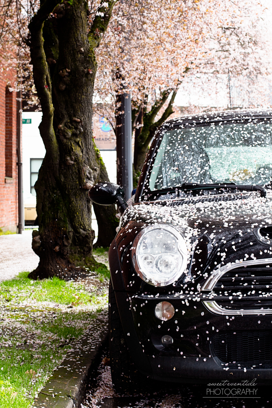 black Mini Cooper in pink snow cherry blossom petals portland oregon