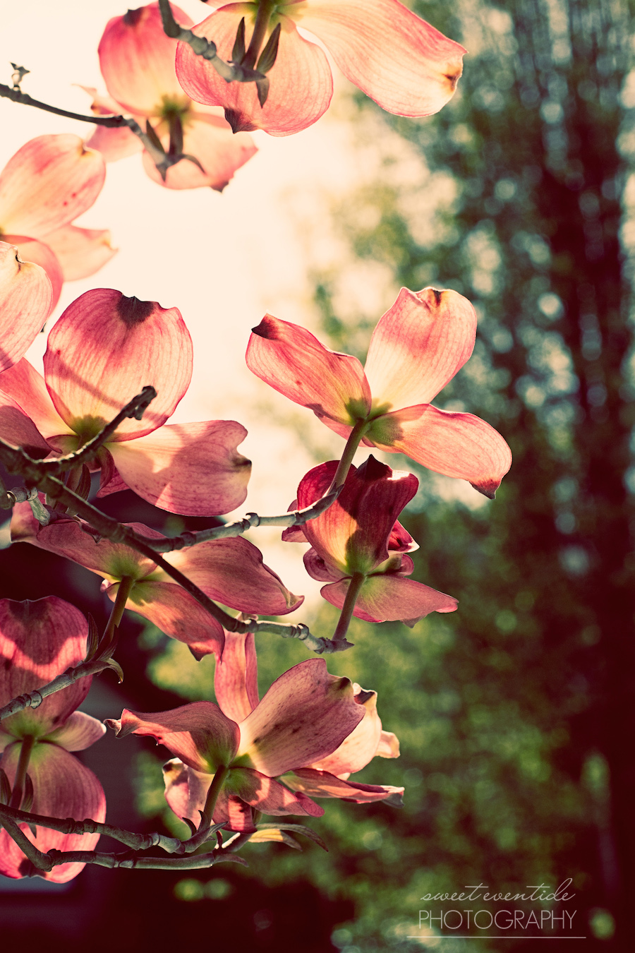 Dogwood blooms in soft light | photograph by Jessica Nichols