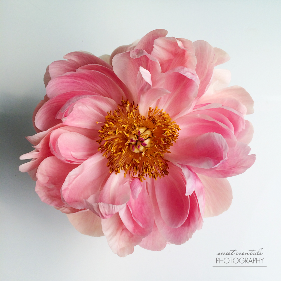 coral charm peony photograph by Jessica Nichols