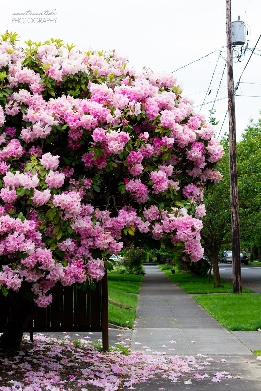 pink rhododendron by a fence and sidewalk