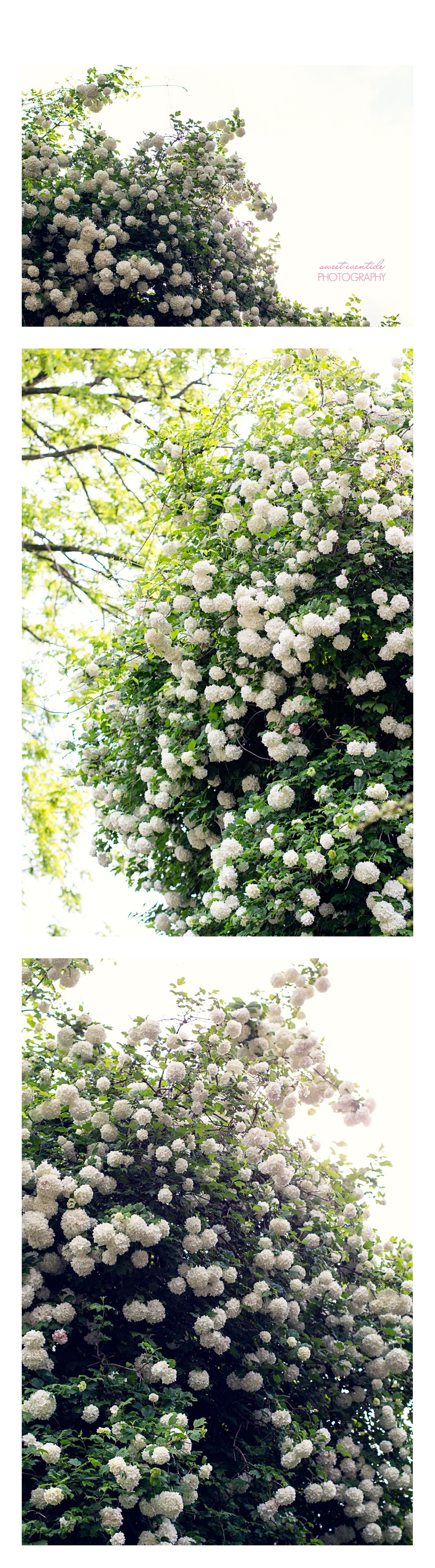 White Rhododendrons photo collage by Jessica Nichols, Sweet Eventide Photography