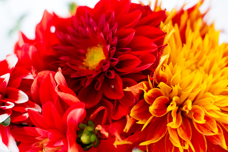Bold Red & Gold Dahlia Bouquet photograph by Jessica Nichols, Sweet Eventide Photography