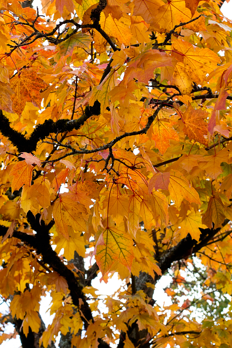 fall foliage trees orange yellow leaves Portland OR fine art nature photography Jessica Nichols Sweet Eventide Photography