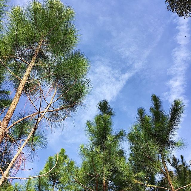 Chemtrails and Pines.