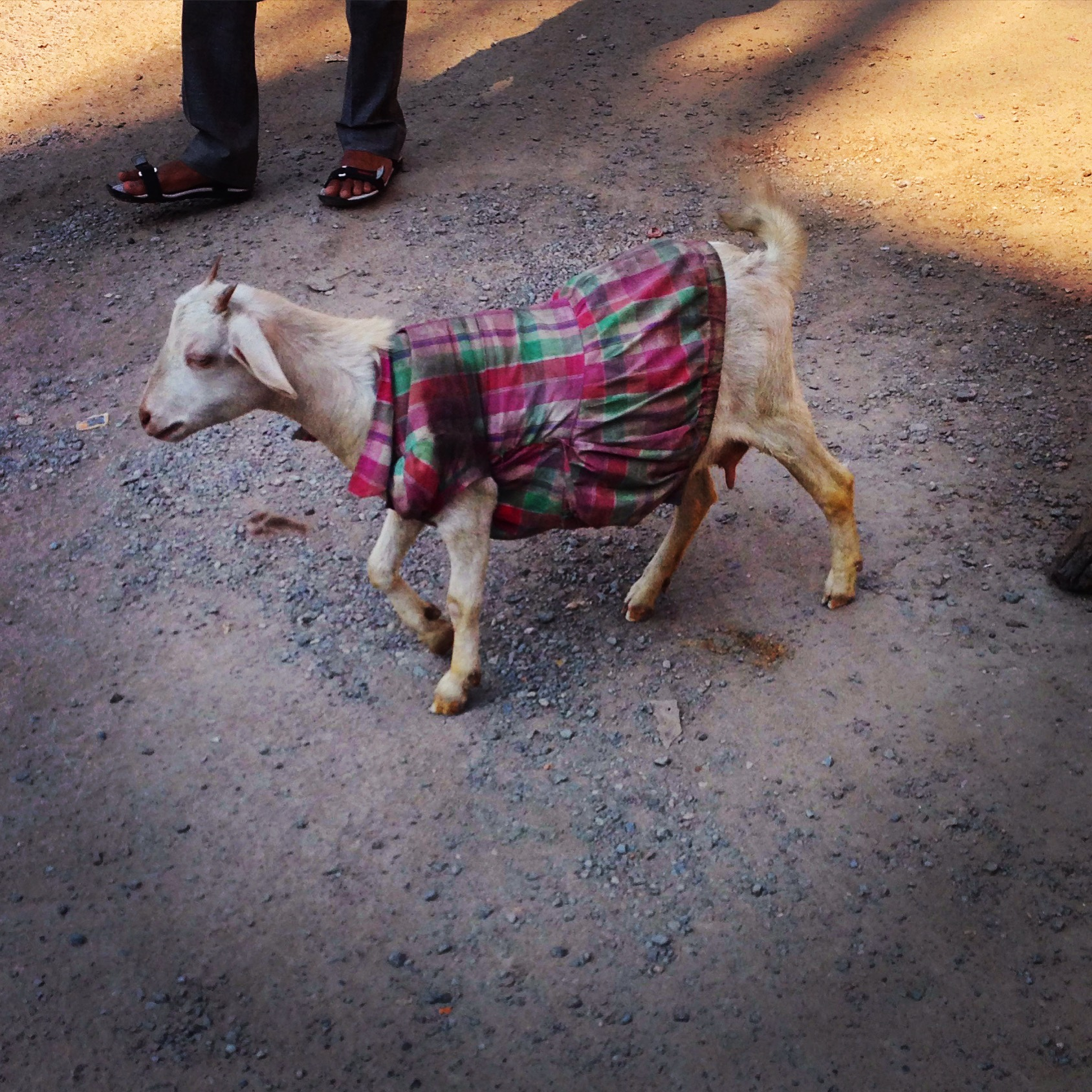 A goat wearing a dress in Varanasi, India