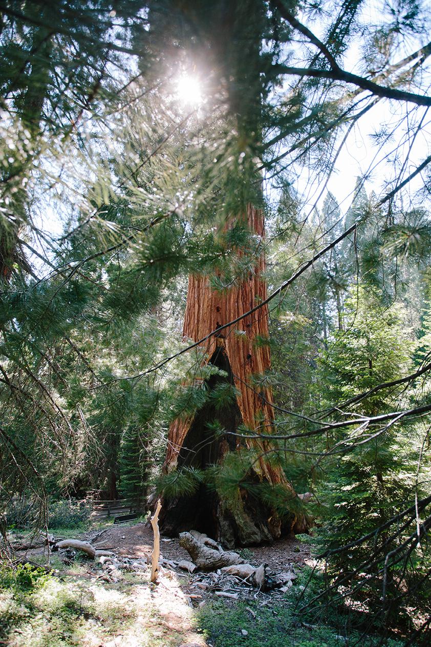 SequoiaNationalPark_GeneralGrantTree_SonyaYruel.jpg