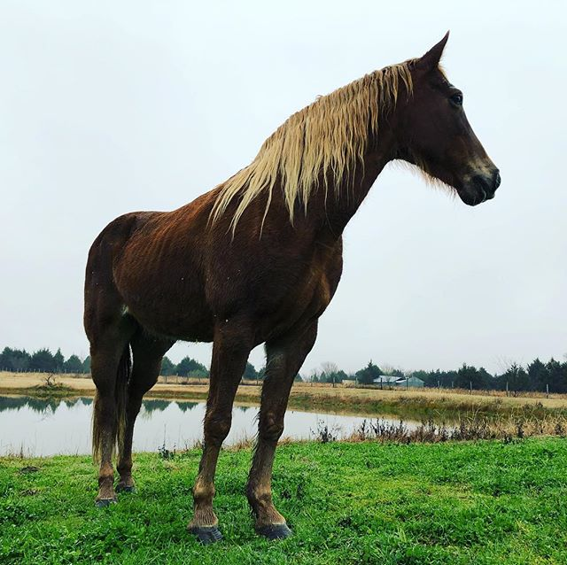 Tennessee Walker from Stolen Moose Ranch. #ilovemyhorse #ilovemytennesseewalker #love #beautifulhorse #horsepic #proudhorse