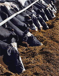 More than half of U.S. milk is produced by 3 percent of dairies.