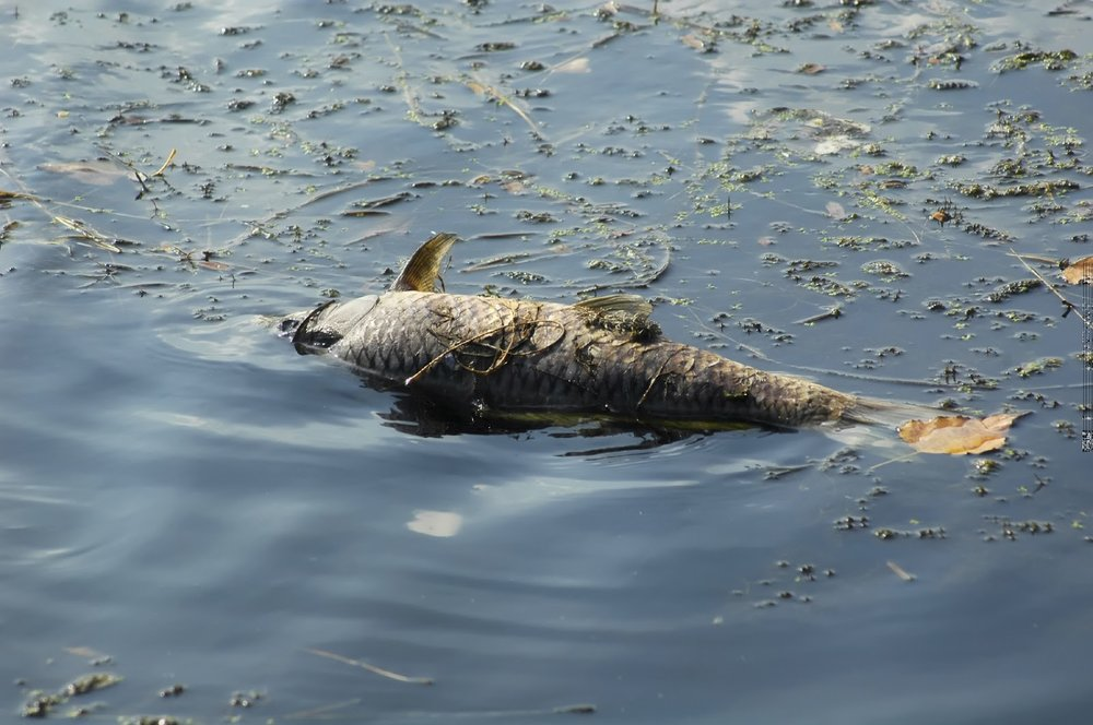 Dead+fish+floating+in+polluted,+eutrophic+river+-+iStock_Medium.jpg