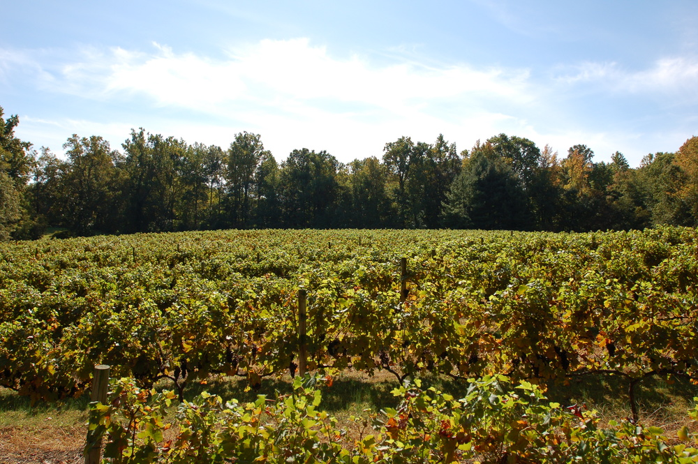 Only the Best Berries from Our Vineyards are Used in Our Wines