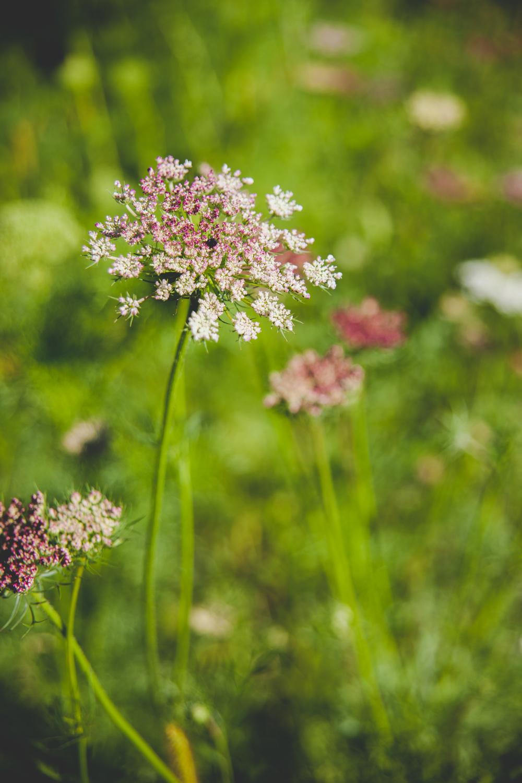 Dara Queen Anne's Lace - Winnipeg Wedding Flowers