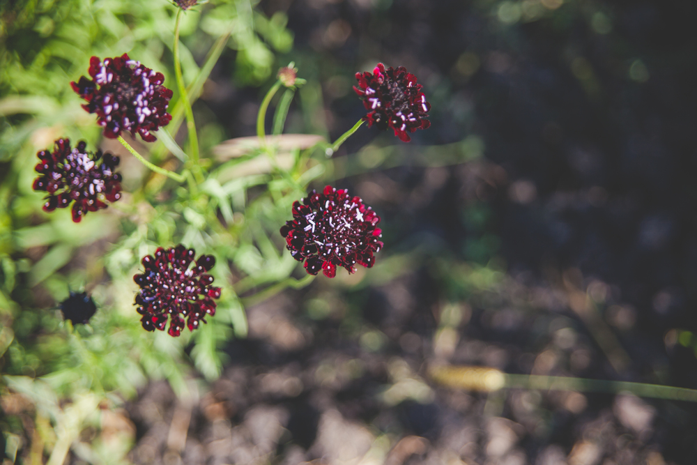 Red Scabiosa - Locally Grown Wedding Flowers