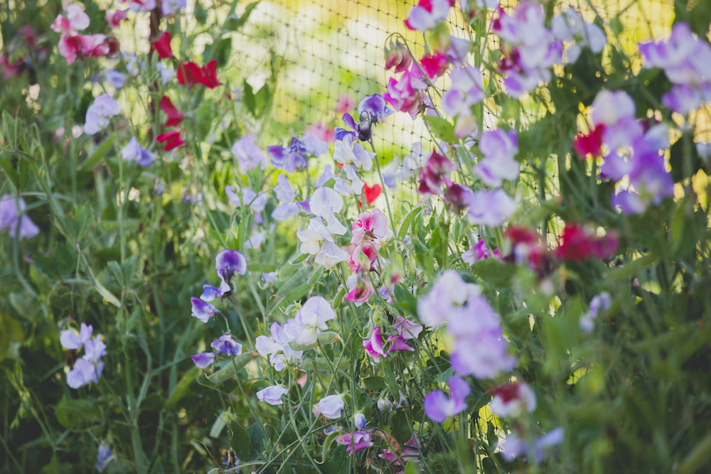 Locally Grown Sweet Pea - Favourite Summer Wedding Flowers