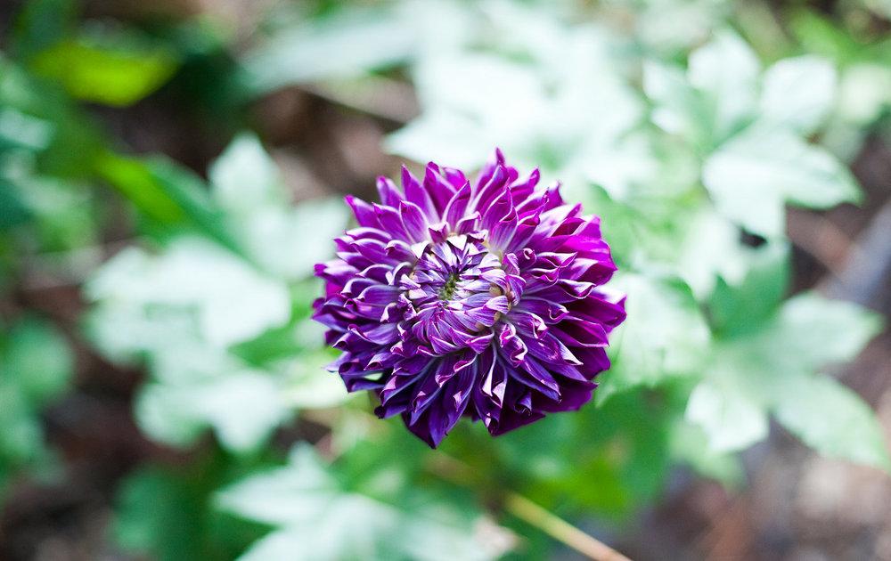 Purple Dahlia - Wedding Flower Ideas