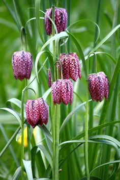 Fritillaria - Mauve Wedding Flower Trends