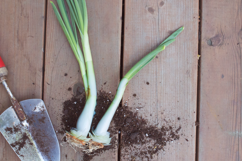how-to-plant-sprouted-onions