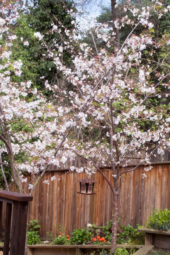 flowering-cherry-trees-birdhouse