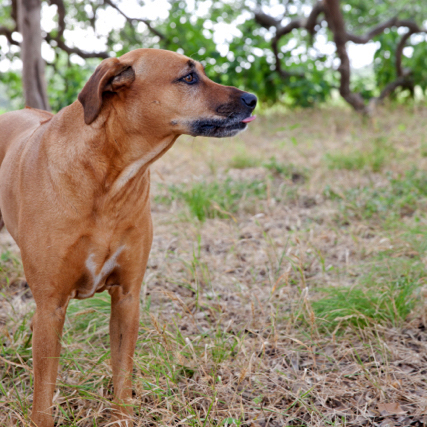 Aby: 9 year old Ridgeback