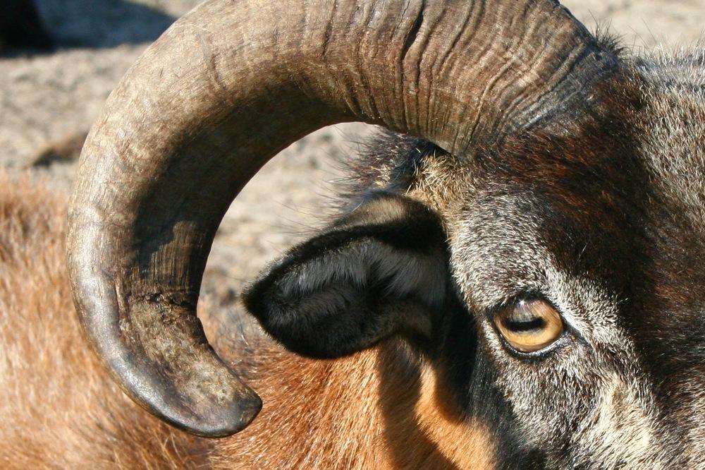 ram eye.jpg