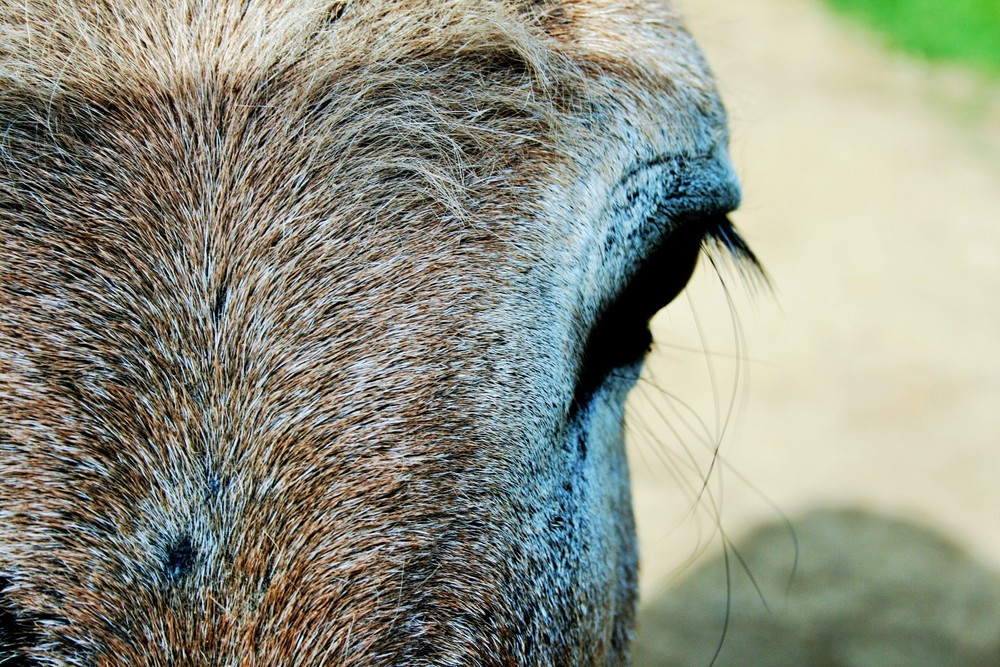 close-up-donkey eye.jpg