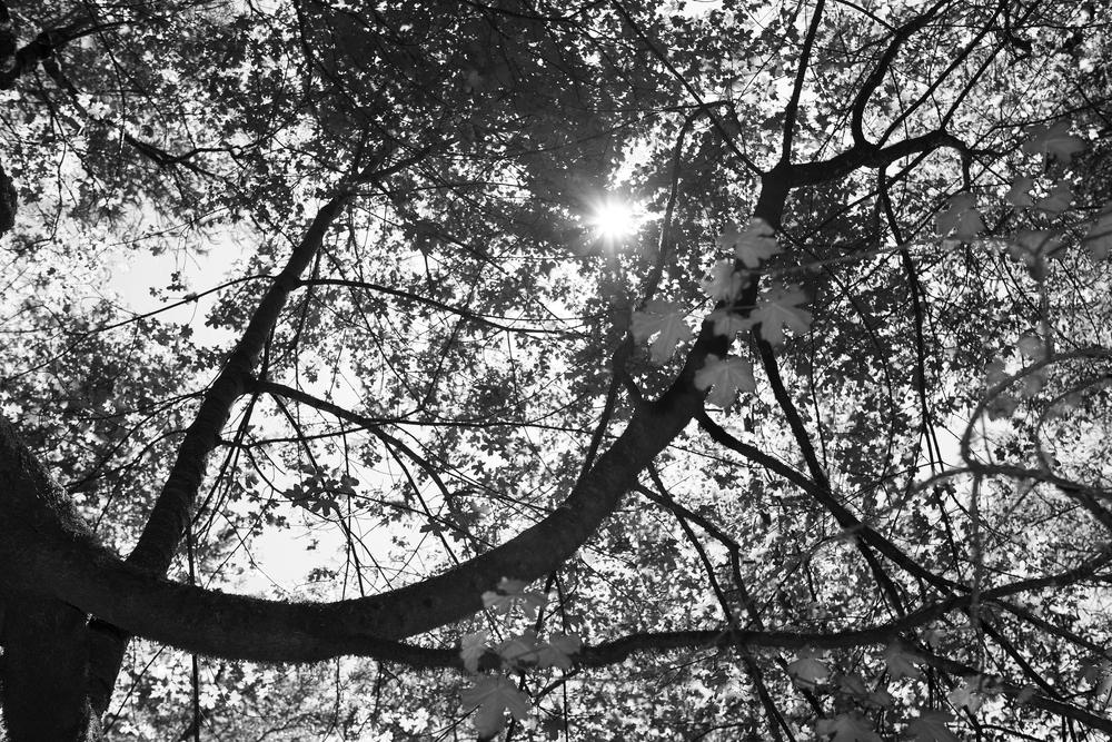 tree upshot b&w.jpg