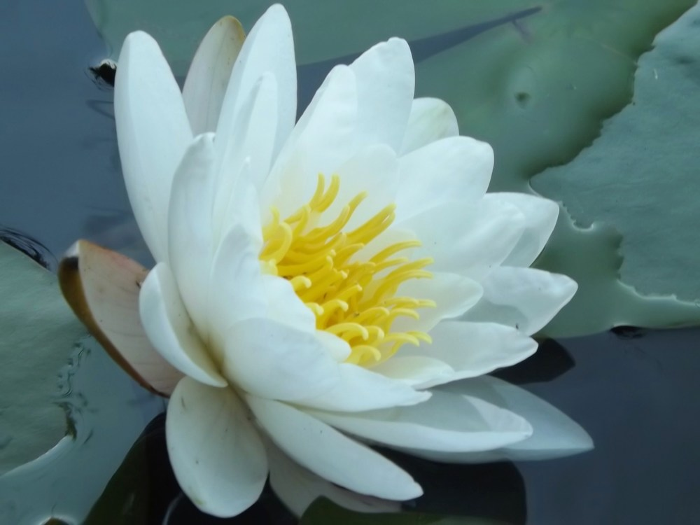 The genus Nymphaea makes up the water lilies proper, with 46 species, including the common North American white lily Nymphaea odorata .