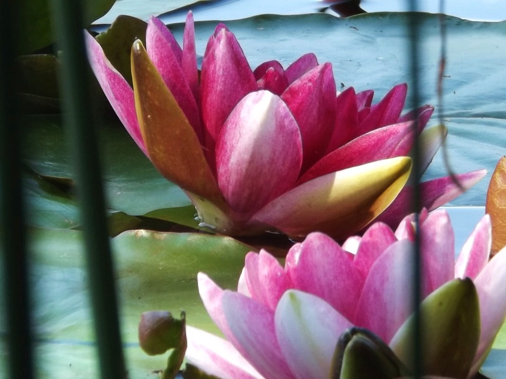 Twin visions of loveliness: wild mauve water lilies float on a pond.