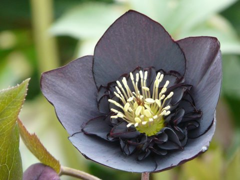 Wearing its ruffled nectaries like an Elizabethan Collar, this black anemone flowering hellebore is a real show stopper.