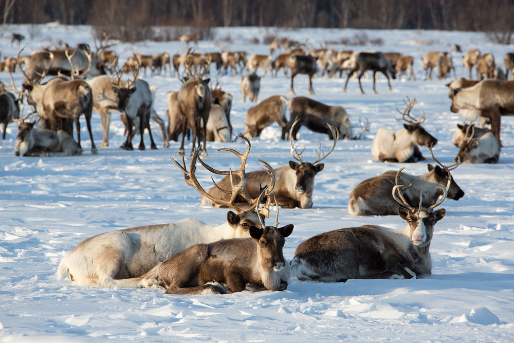 Russian reindeer of central Kamchatka.