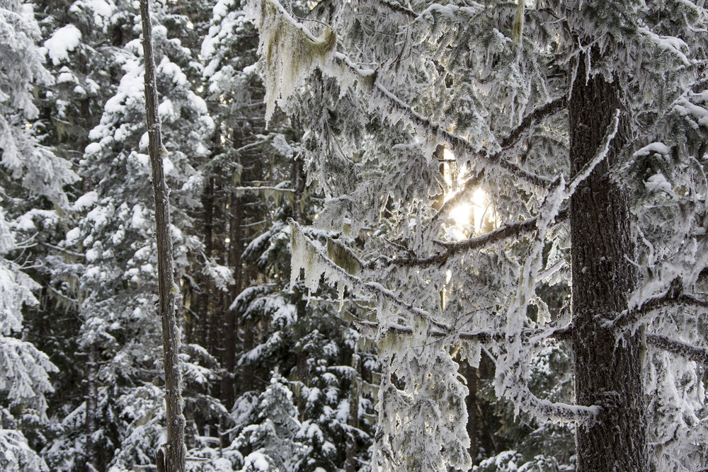 Sunshine pokes through the snow covered trees and moss as the sun begins to lower towards the horizon at Wells Grey Provincial Park, British Columbia.