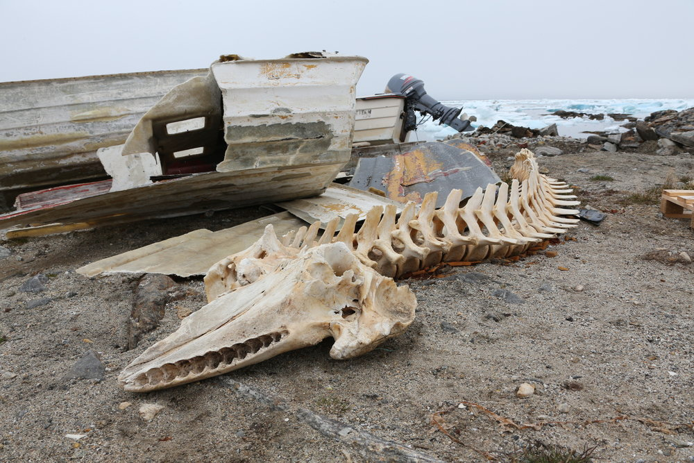 A whale skeleton in Kuummiut's harbour. East Greenland.