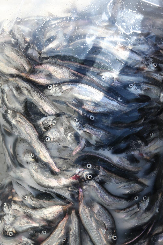 Small Ammassak fish from Illi's bag. Kuummiut, East Greenland.