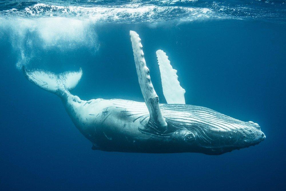 tonga-baby-whale-small.jpg