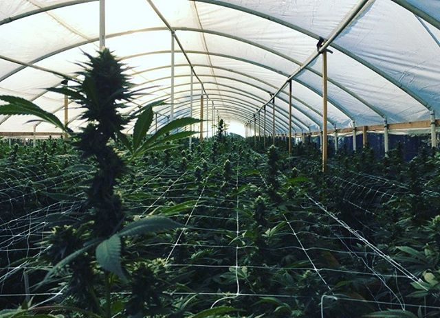 #blackfirfarms #throwback #harvest #cannabis #humboldt #permited #grow #sourdeisel #ca #queerfarmers #bff
