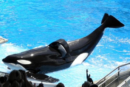 Tilikum the actual killer whale                              (Wikimedia commons)