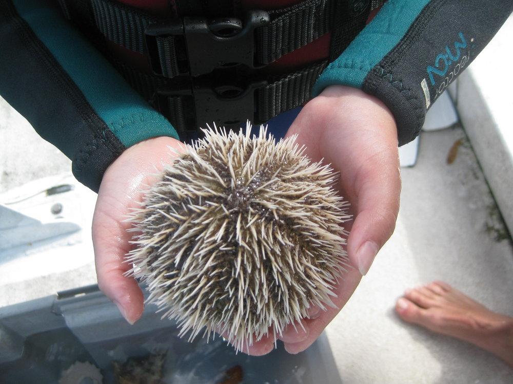 Short spine variegated sea urchin.JPG