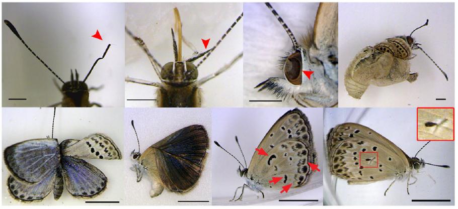 Abb 3 Verschiedene Abnormalitäten an Schmetterling Zizeeria maha (Bild aus einer Publikation der Ryukyus-Gruppe aus Japan)