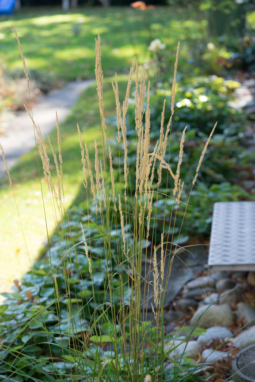"""Calamogrostis x actiflora """"Karl Foerster"""" 4.10.2016"""