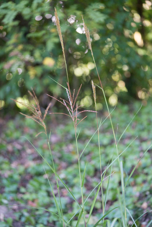 Miscanthus sinensis 'Silberfeder' 4. Oktober 2016