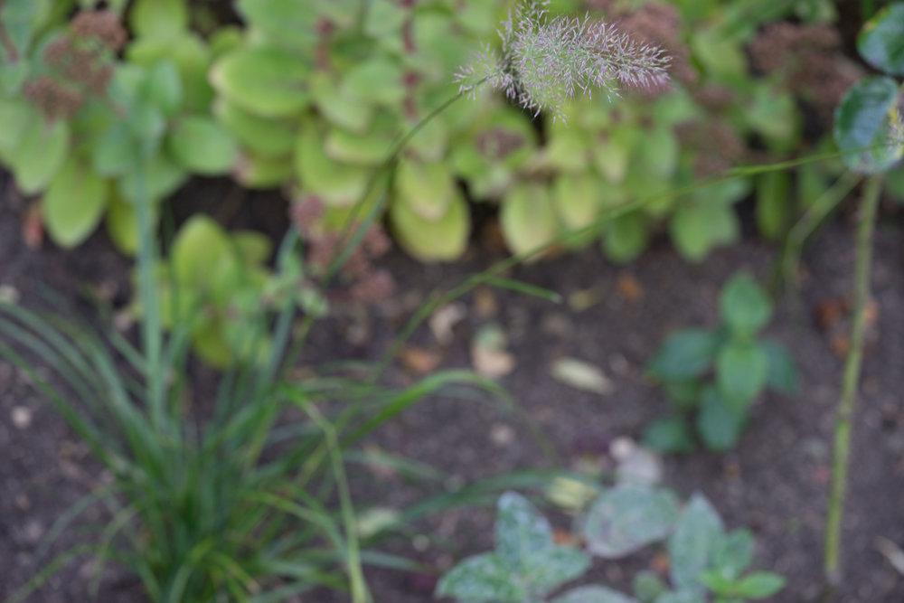 Calamagrostis brachytricha 4. Oktober 2016