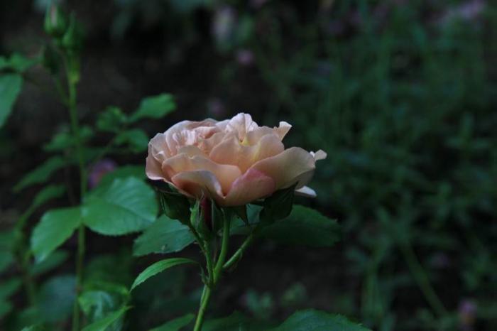 'Lavender Pinocchio'