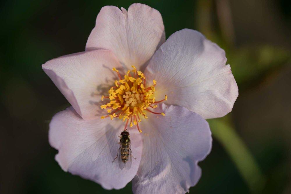 'Lilac Charm'