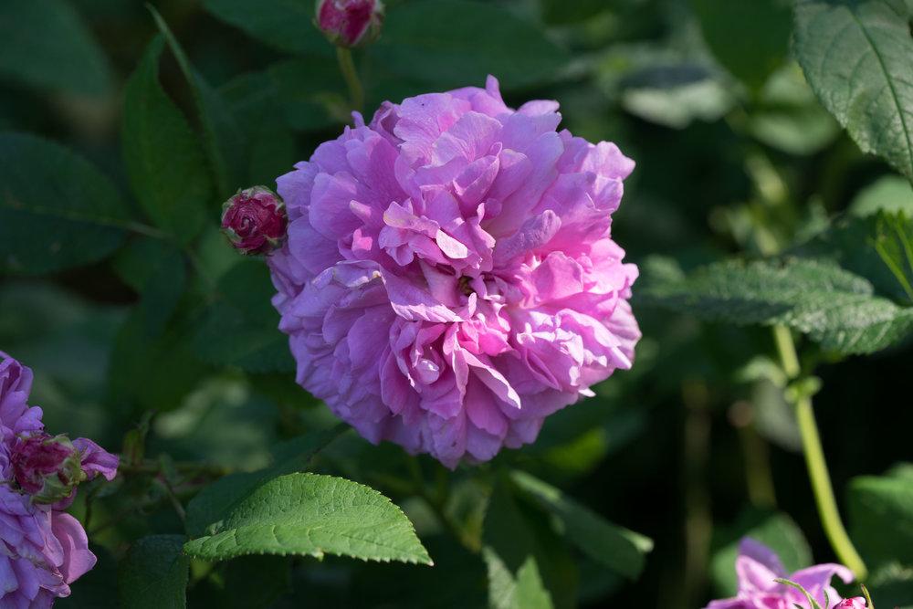 'Persian Rose'