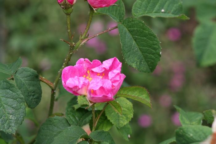 R. gallica