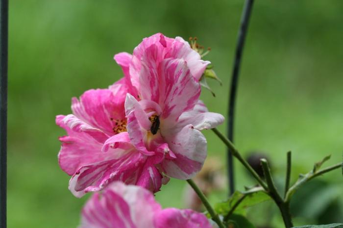 R. gallica versicolor