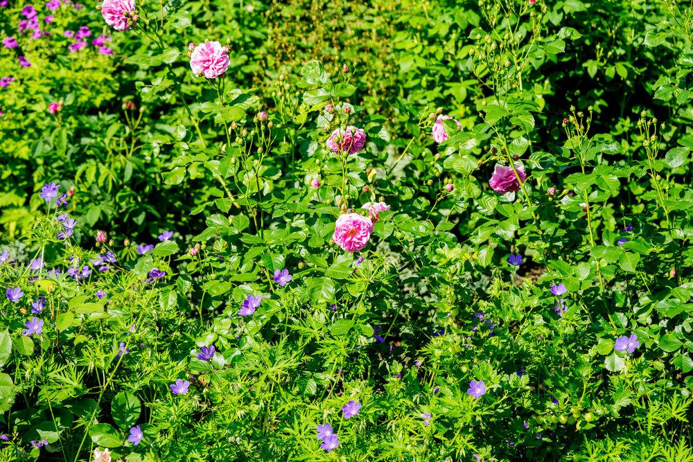 'Lavender Lassie'