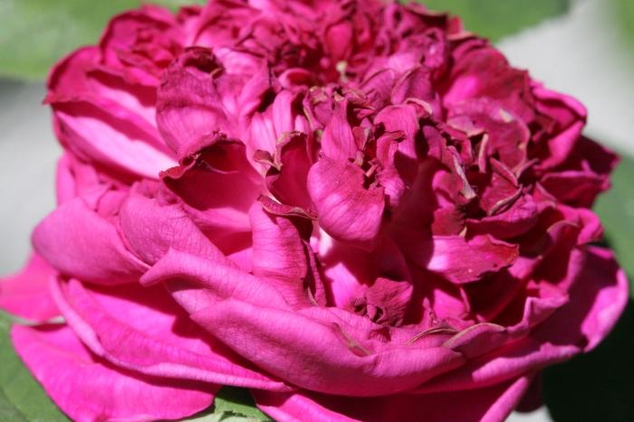 Rose_de_Rescht (4).JPG