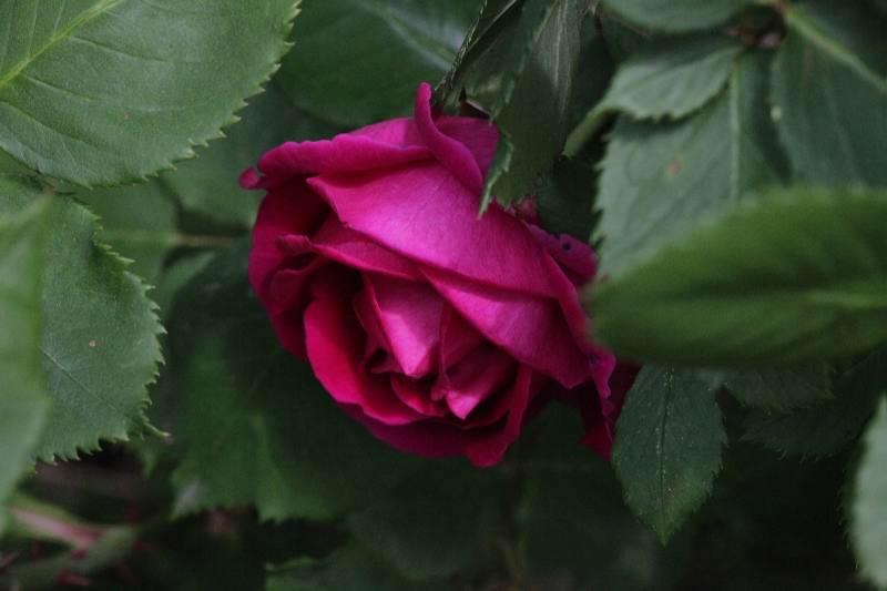 'Prince Noir'