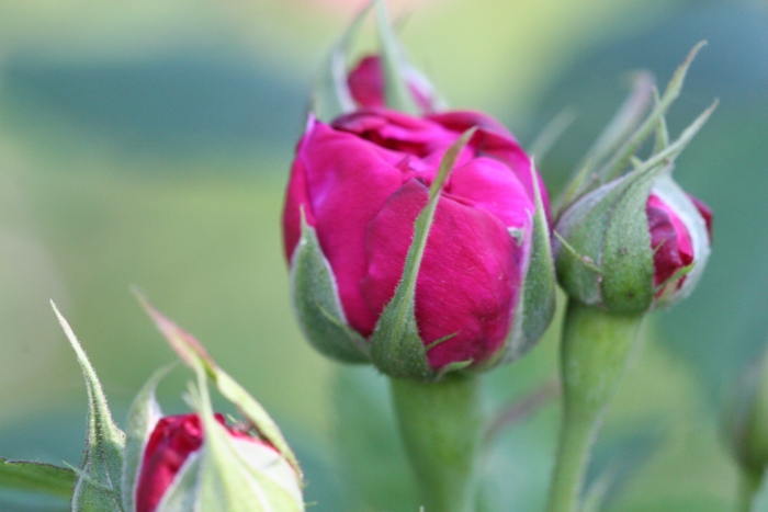 'Reine des Violettes'